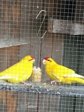 Kakariki bonded pair $150 Hampton Park Casey Area Preview