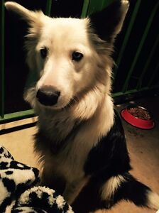 For Sale 2 year old female Border Collie Campbelltown Campbelltown Area Preview
