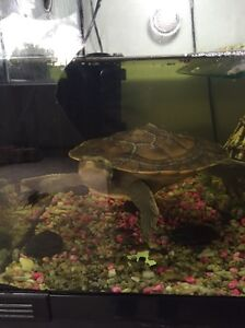 Selling A 2.5 yo Murray River Short Neck Turtle Toora South Gippsland Preview