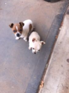 Chihuahua cross fox terrier puppies Virginia Playford Area Preview