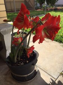 Various Plants For Sale Mile End West Torrens Area Preview