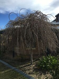 Weeping Mulberry Trees x 2 Iluka Joondalup Area Preview