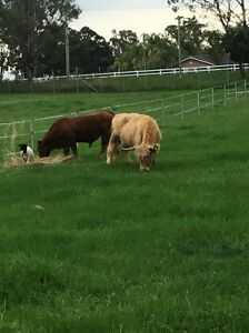 Highland cow in calf Bringelly Camden Area Preview