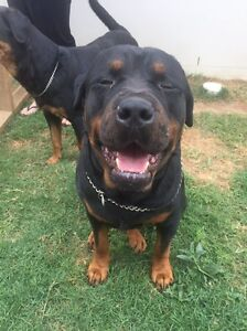 Rottweiler Puppies Coomera Gold Coast North Preview