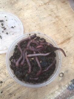 Scrub worms