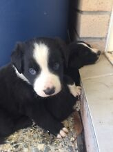 Beautiful border collie puppies for sale. Ormeau Gold Coast North Preview