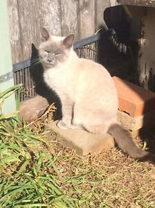 RAGDOLL CROSS DESEXED MALE 9 MONTH OLD KITTENS Pleasure Point Liverpool Area Preview
