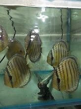 WILD Greens , wild blues , wild heckles discus sale Como South Perth Area Preview