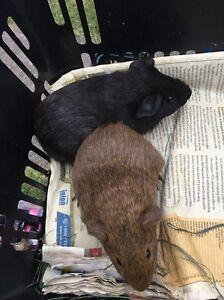 Baby female guinea pigs $30 the pair Cambridge Park Penrith Area Preview