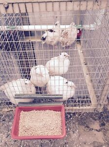 Japanese quail for sale. Seville Grove Armadale Area Preview