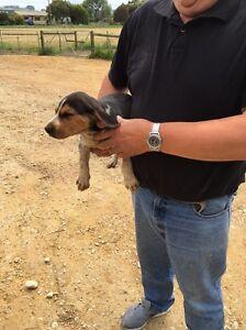 Male fox hound pup Wynyard Waratah Area Preview