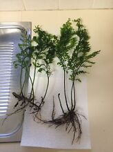 BOLBITIS HEUDELOTII  for sale Ferndale Canning Area Preview