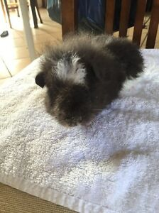 Gorgeous baby Guinea pig MALE Bracken Ridge Brisbane North East Preview