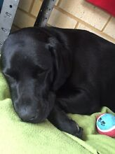 Black Labrador Baldivis Rockingham Area Preview