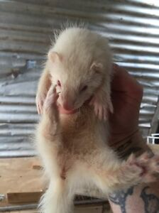 Female ferrets for sale Dunnstown Moorabool Area Preview