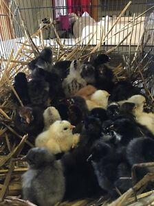 Silver Sussex, Leghorn and Cochin chickens Yarrawalla Loddon Area Preview