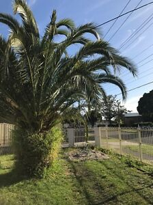 Ornamental Palm Tree Springvale Greater Dandenong Preview