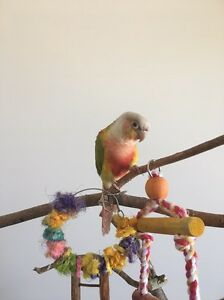 Male Conure Oxenford Gold Coast North Preview