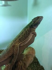 Central Bearded Dragon Greensborough Banyule Area Preview