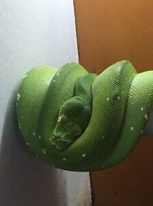 Green tree python Gawler West Gawler Area Preview