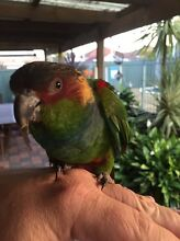"""Blue Throated Conure """"Bluey"""" Mortdale Hurstville Area Preview"""