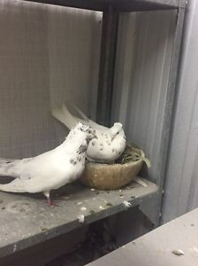 Iranian pigeons for sale Logan Central Logan Area Preview