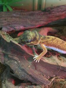 Knob tailed geckos Greensborough Banyule Area Preview