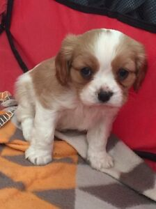 Cavalier King Charles pedigree pups Healesville Yarra Ranges Preview
