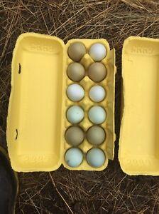Fertile x breed eggs chickens Craigieburn Hume Area Preview