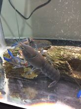 Blue Yabbies for sale Springvale South Greater Dandenong Preview