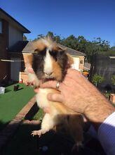 Free Guinea Pig Ashtonfield Maitland Area Preview