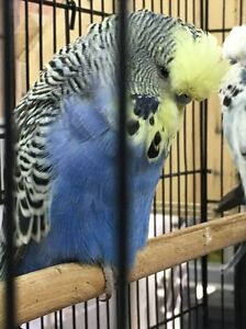 Colorful Baby Budgies from Show Breeder Camberwell Boroondara Area Preview