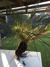 Native Grass Tree - Black Boy - Xanthorrhoea Johnsonii Cardiff Lake Macquarie Area Preview