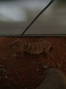 Amyae knob tailed geckos Cranbourne Casey Area Preview