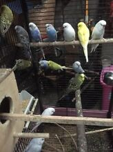 Budgies for $10 each Hampton Park Casey Area Preview