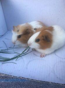 Baby male guinea pigs now ready Cambridge Gardens Penrith Area Preview