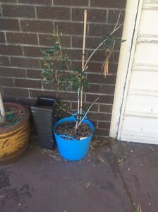 Fruitless olive tree Hillarys Joondalup Area Preview