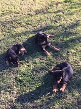 Kelpie Pups Yetman Inverell Area Preview