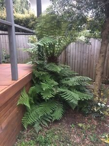 Tree Fern Dicksonia Antartica Caringbah Sutherland Area Preview