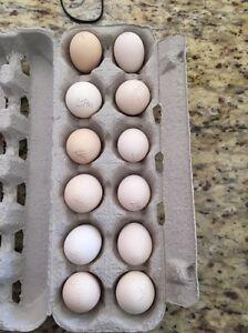 Fertile Japanese bantam eggs Yatala Gold Coast North Preview