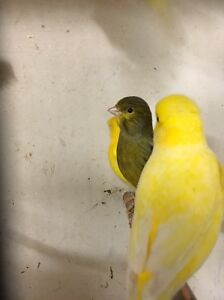 Canaries all types Riverstone Blacktown Area Preview