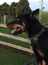 "WORKING DOG / KELPIE ""STOUT"" Exton Meander Valley Preview"
