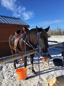 15hh 1999 black Andalusian Sport Horse cross mare