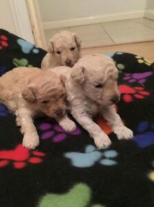 Toy poodle pups pure bred Glenfield Campbelltown Area Preview