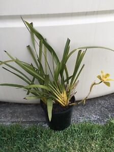 Orchid $20 Penshurst Hurstville Area Preview