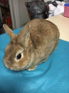 Pure bred Netherland Dwarf Rabbit Bunny Buck Adult Ardeer Brimbank Area Preview