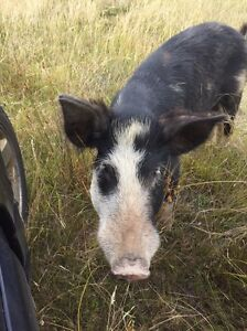 Miniature pig breeding male and piglets Forest Reefs Blayney Area Preview
