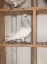 Pakistani pigeon Fairfield Fairfield Area Preview