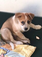 Husky X red heeler Banksia Beach Caboolture Area Preview