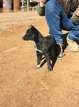 BLACK KELPIE X BLUE HEELER Violet Town Strathbogie Area Preview